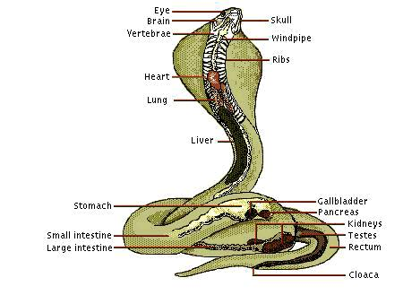 Cobra Anatomy Diagram 1