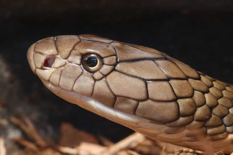 Snake Brain: How Intelligent are Cobras? – Cobras org
