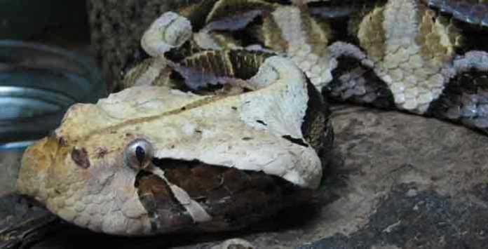 Gaboon Viper