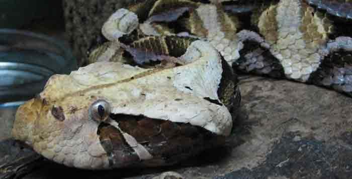 Case Study: Gaboon Viper Bite – Cobras org