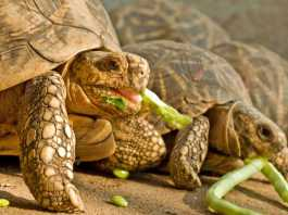 Tortoise Eating