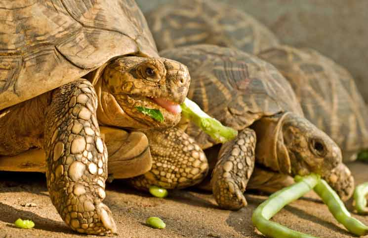 Group of Tortoise Eating. Photo by Bishwamber Nath