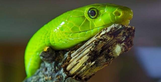 The Green Snake Portrait