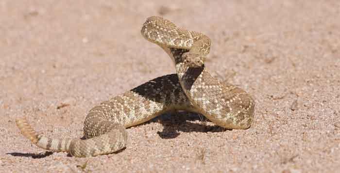 Mojave Green Rattlesnake