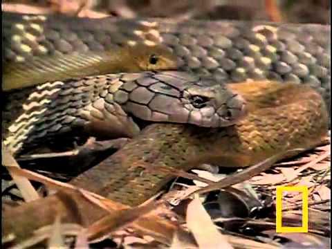 What Do Cobras Eat Cobrasorg