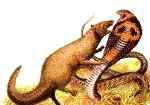 Mongoose vs Cobra