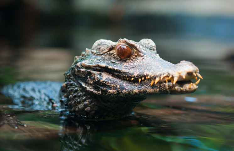 43e3bbdb9fe Dwarf Caiman: The Perfect Croc Pet? – Cobras.org