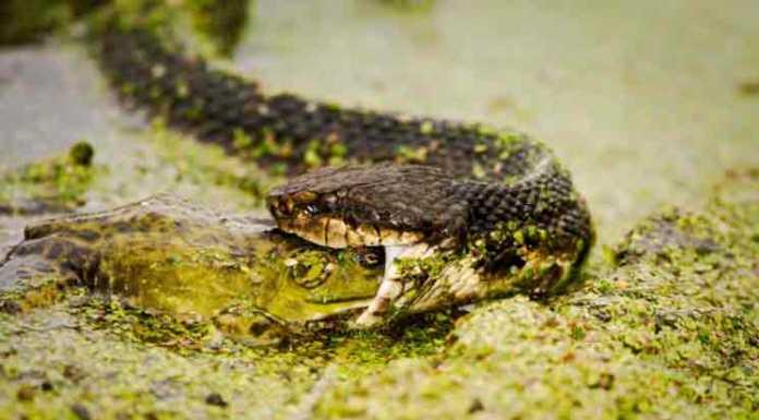 florida snakes