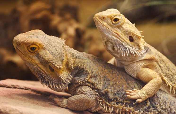 Pawn a bearded dragon for a white anaconda xxx pawn