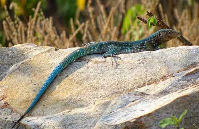 lizard species