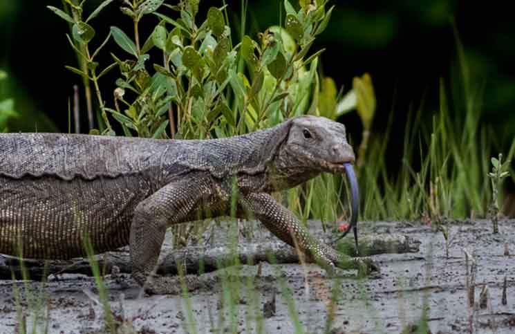 New Monitor Lizard Species Discovered in Black Market ...