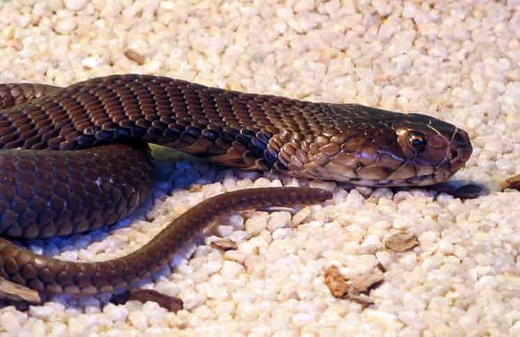fastest snake