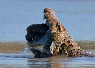What does a crocodile eat