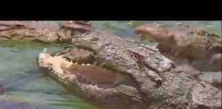 Dwarf Caiman: The Perfect Croc Pet? – Cobras org