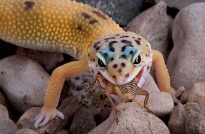 do you want a leopard gecko pet cobras org