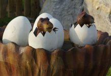 Lizard eggs