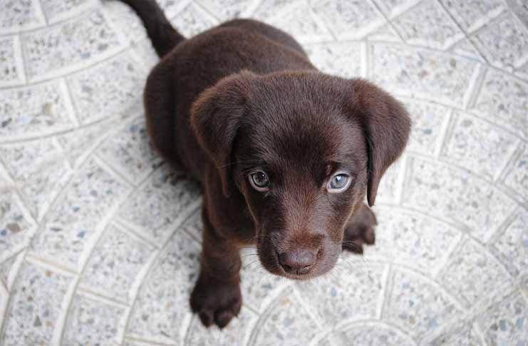How to Take Care of a Labrador Retriever puppy – Cobras org
