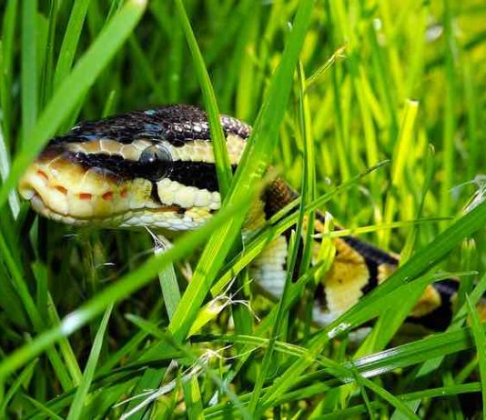 How to feed a baby ball python