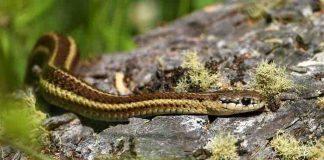 Garter snake in your garden