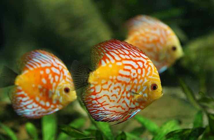 freshwater fish for Aquarium