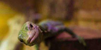 CBD for Pet Reptile