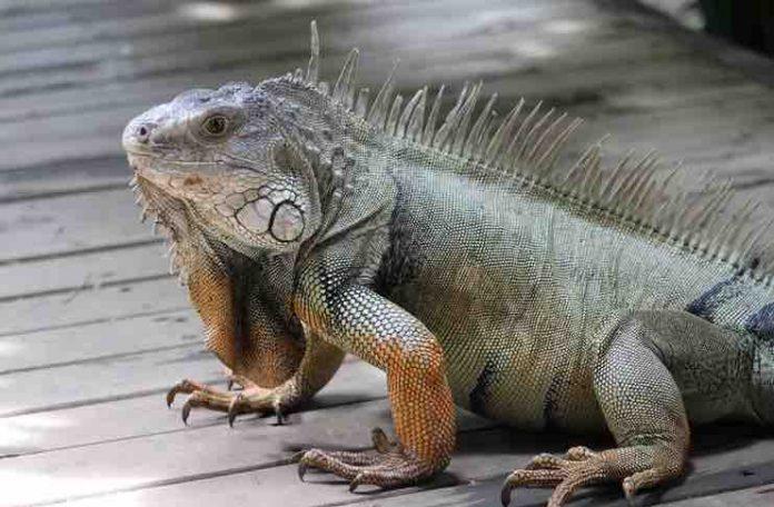 are iguanas aggressive